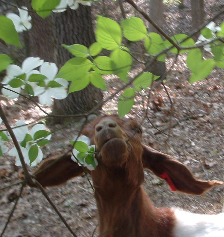 Boer goat, Bell, with dogwood blossoms