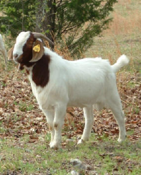 100% fullblood Boer buck - his Boer kids are for sale at Canyon Goat Company