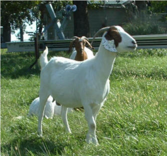 Percentage Boer doe for sale at Canyon Goat Company