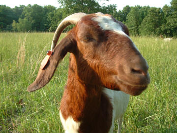 Boer does for sale at Canyon Goat Company in Greenview, Missouri
